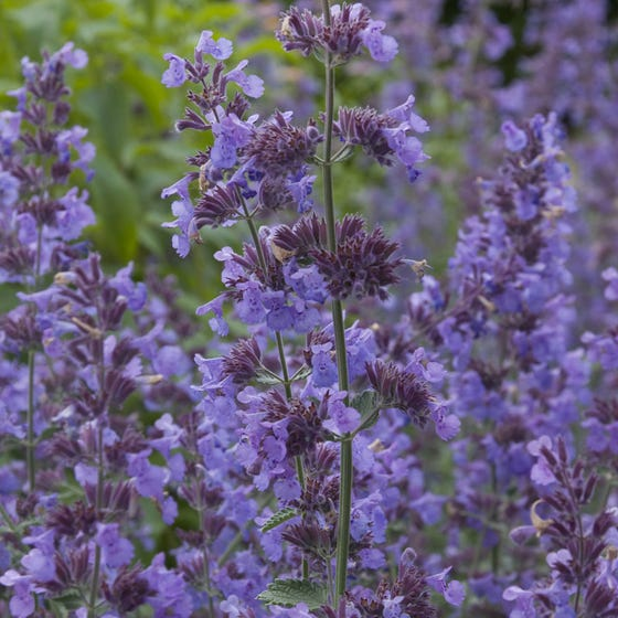 Walker S Low Catmint Plant Nepeta Walker S Low High Country