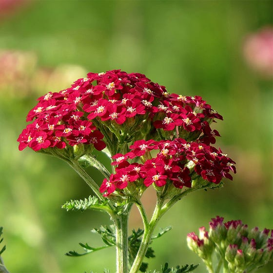 New Vintage Red Yarrow Achillea High Country Gardens