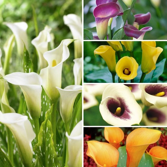 O Keeffe Inspired Calla Lily Bulb Mix High Country Gardens