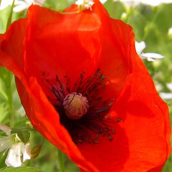 Red Poppy Flanders Poppy Shirley Poppy Seeds Papaver Rhoeas