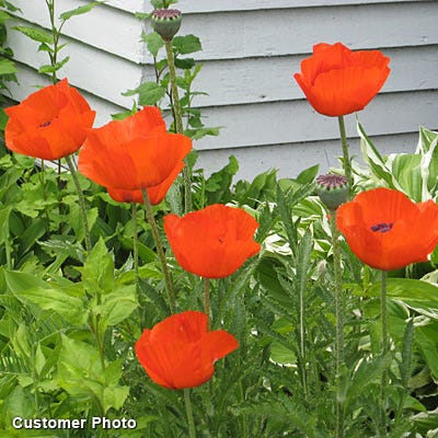 Oriental Poppy Seeds Papaver Orientale Seeds High Country Gardens