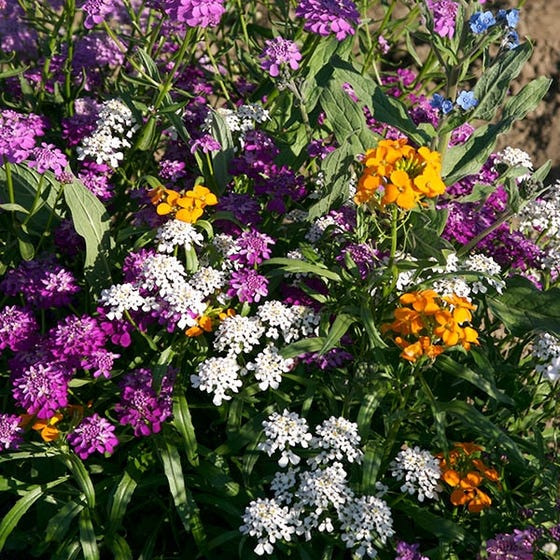 Partial Shade Wildflower Seed Mix High Country Gardens