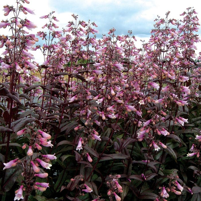 93feac80ad2 Penstemon Dark Towers (Beardtongue) flowers