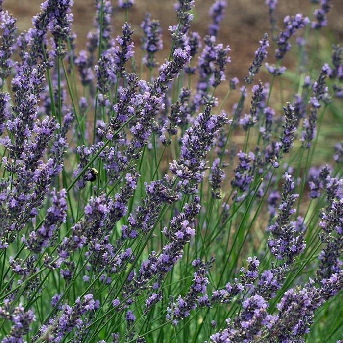 Phenomenal Lavender 5 Pot