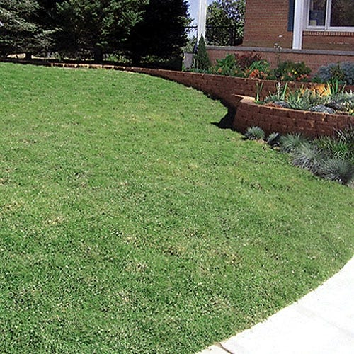 Prestige Buffalo Grass Plugs Sustainable Lawns High Country Gardens