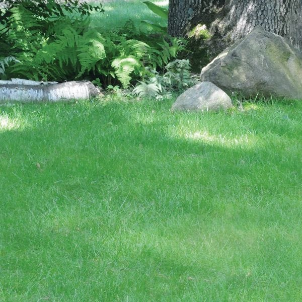 No Mow Lawn Gr Seed