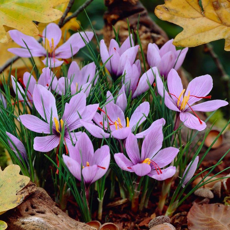 Saffron Crocus High Country Gardens