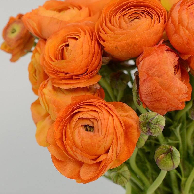Class 1-Spring Bulbs-Perennial 12 Ranunculus Bulbs//TUBERSWhite TOP Size TUBERS
