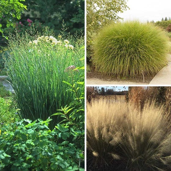Salt Tolerant Ornamental Grass Collection High Country Gardens