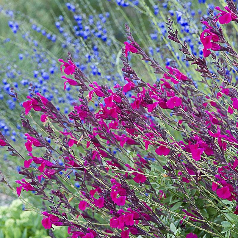 Perennial Mix Bearded Iris 2 Bulbs Resistant Aromatic Rhizomes Plants Stunning