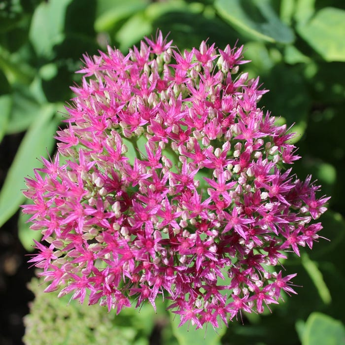 Sedum Autumn Fire Fall Color Red And Pink Stonecrop