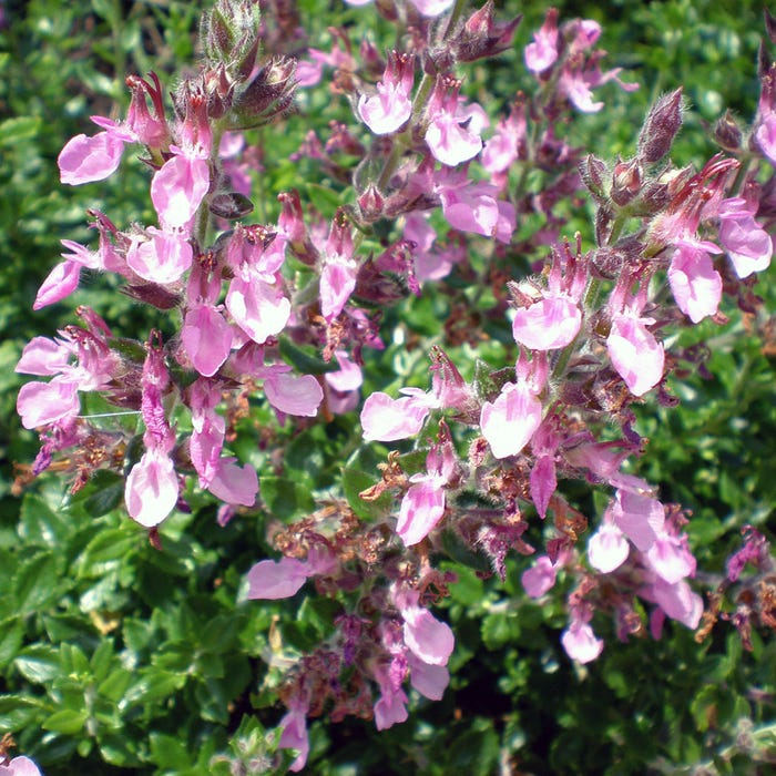 Pink Germander Plant | Teucrium chamaedrys | High Country