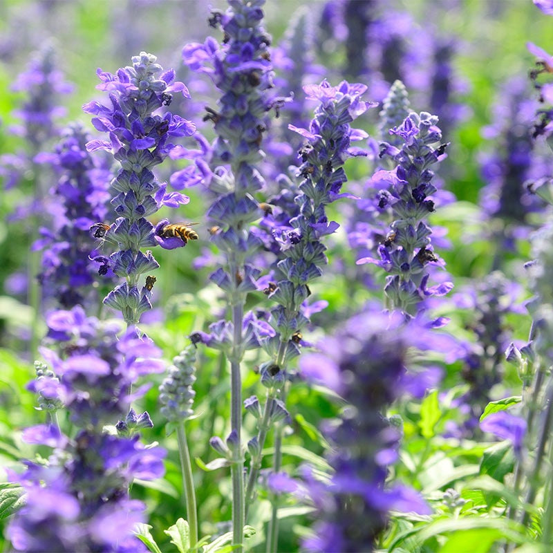 100+EUROPEAN LUPINE Seeds Wildflower Violet//Purple Bloom Spikes Spring//Summer