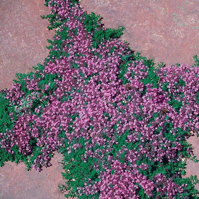 Pink Chintz Creeping Thyme | Thymus Pink Chintz | High