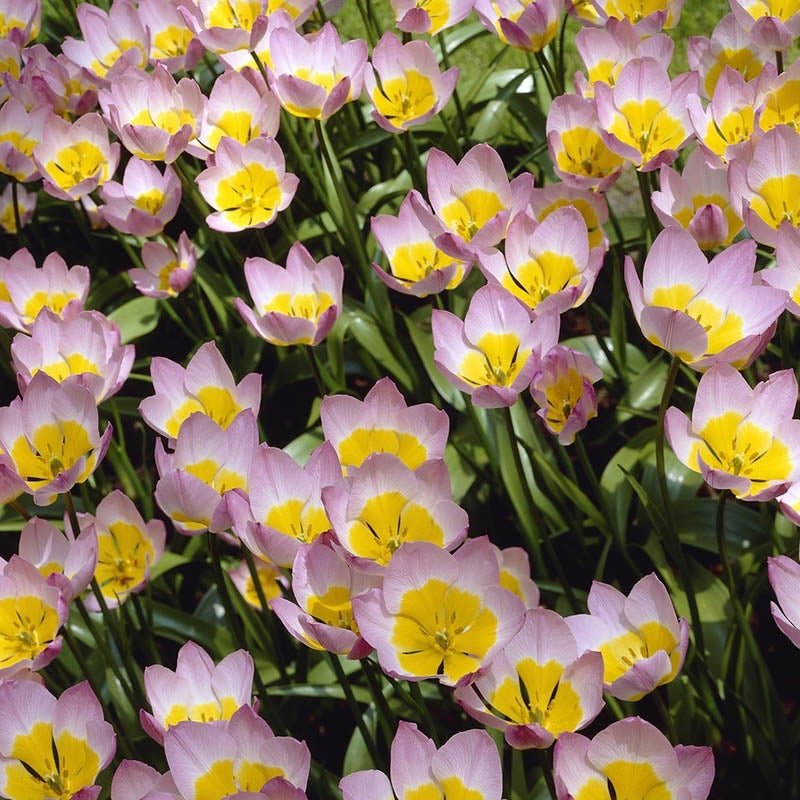 Rare Tulip Bulbs Flowers Perennial Hardy Potted Resistant Stunning Gift Weeding