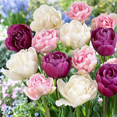 Double Late Tulip Bulbs Tulipa Flower Perennial Resistant Gifts Stunning Balcony