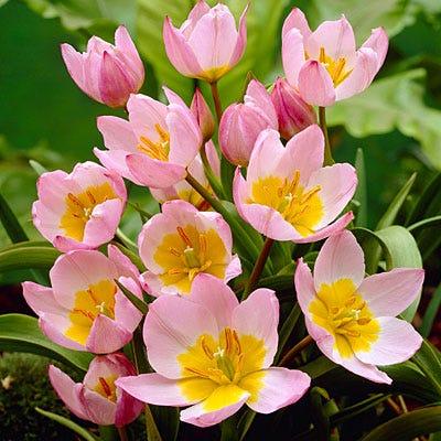 Lilac Wonder Wildflower Tulip