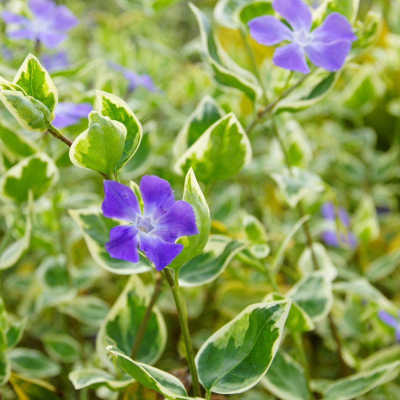 One Periwinkle plant at least 3 inches tall Perennial Frost Hardy Plant Now
