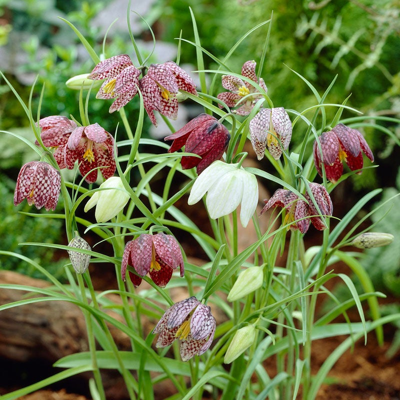 Nice Fritillaria Meleagris Checkered Lily New Flower Bulbs,Check our store 5