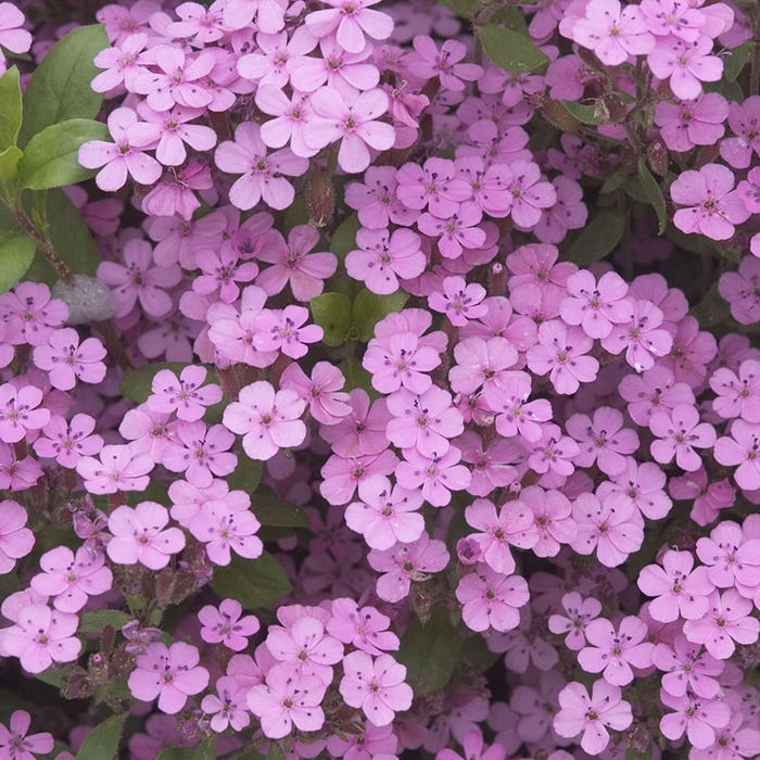 Soapwort | Saponaria ocymoides | High Country Gardens