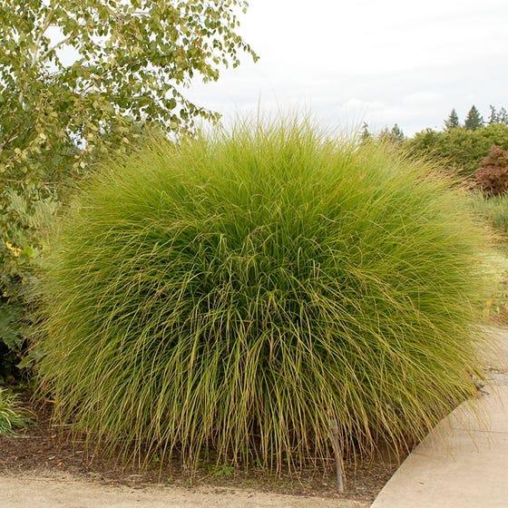 Maiden Hair Grass Miscanthus Sinensis Gracillimus High Country