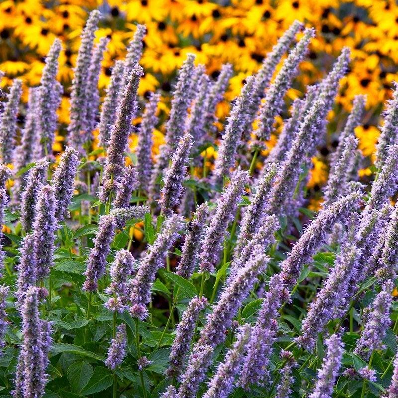 PERENNIAL 50 PENSTEMON HETEROPHYLLUS BLUE SPRING FLOWER SEEDS