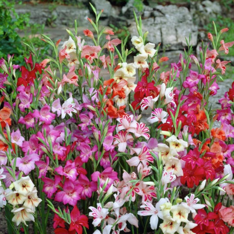 Growing Gladiolus High Country Gardens