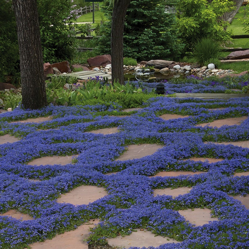 Groundcovers You Can Step On | High Country Gardens Blog on