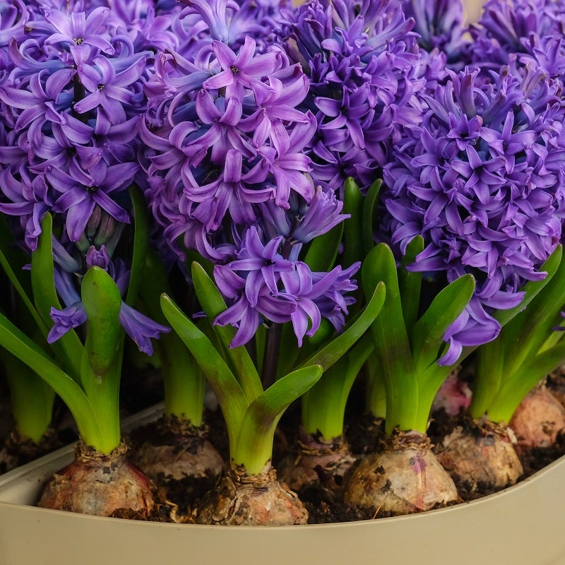 Growing Hyacinth Bulbs High Country Gardens