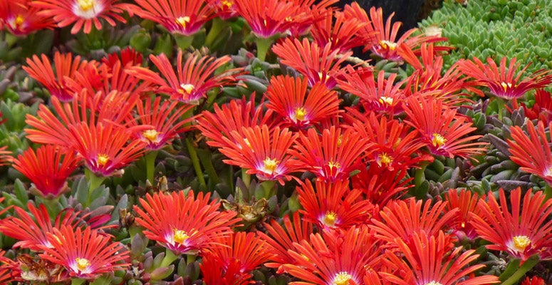 Ice Plant Red Mountain Flame