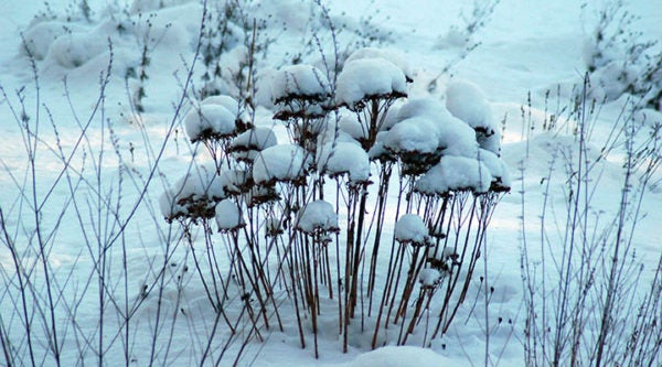 Perennials depend on snow cover in winter for hydrating their roots.