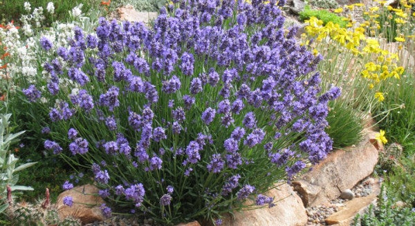 Lavender Bliss Growing Lavender Plants High Country Gardens