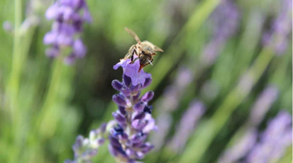 Honey bee on lavender.