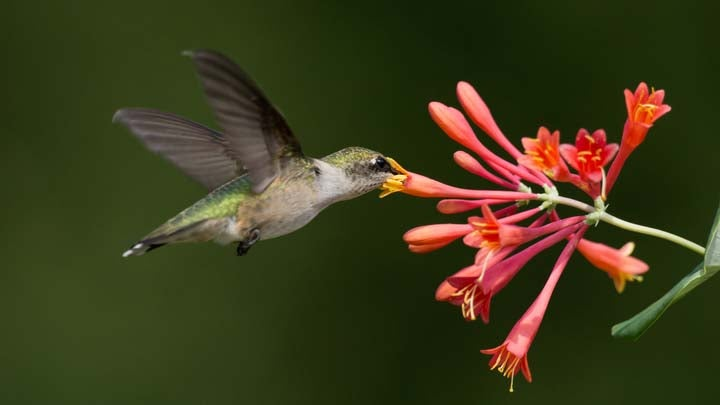 Hummingbird-feeding-on-Lonicera-blog