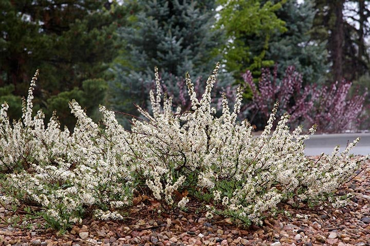 Pawnee Buttes® Sand Cherry
