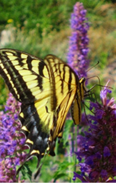 Western swallowtail and agastache.