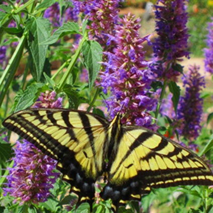 Spotted swallowtail on agastache blue blazes.