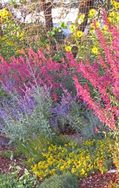 Russian Sage, agastache, helianthus and zinnia.