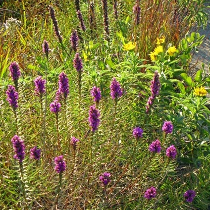 Liatris with stiff sunflower