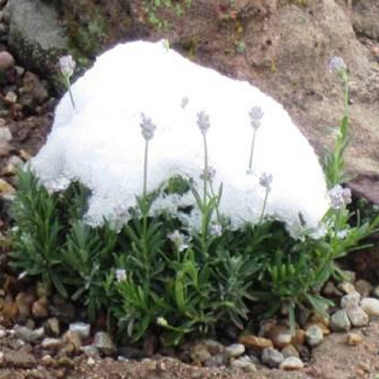 Lavandula angustifolia with snow.