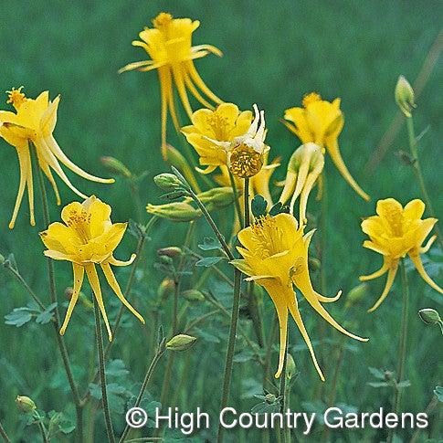 Aquilegia chrysantha v. chapline Little Treasure