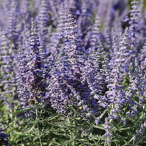 Lacy Blue Russian Sage
