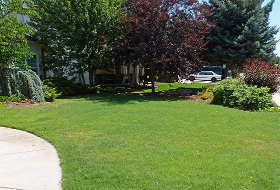 Buffalo Grass Lawn