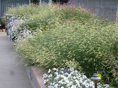 Bouteloua Blonde Ambition with annual Gomphrena petunias Denver Botani Garden front entrance