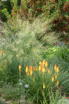 Sporobolus wrightii, Kniphofia triangularis and Acer Hot Wings, Denver Botanic Garden
