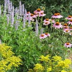 Echinacea purpurea, Agastache 'Blue Fortune' and Solidago