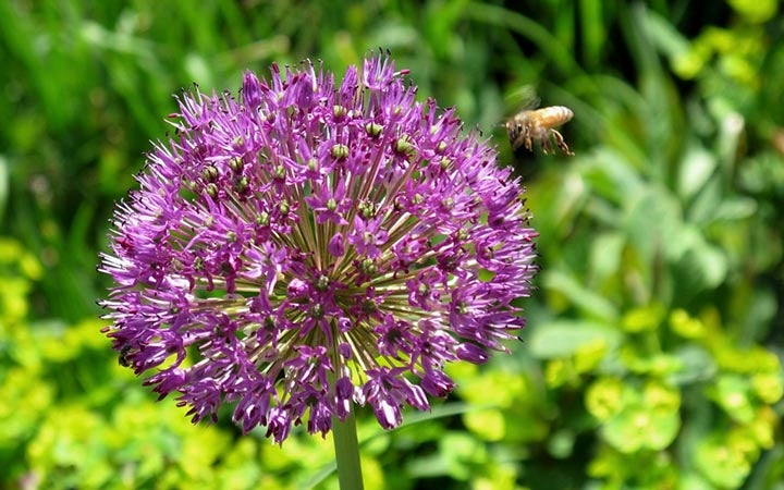 Purple allium in bloom with bee