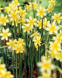 Deer Resistant Spring Blooming Bulbs High Country Gardens