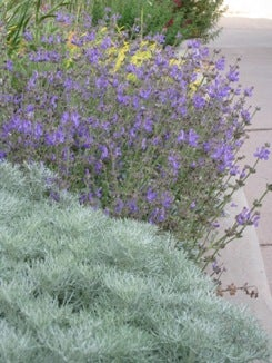 Salvia daghestanica with Artemisia Seafoam