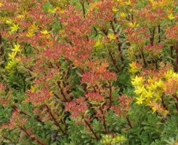 Chinese Mountain Crop (Sedum middendorfianum)